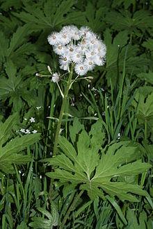 plant pic coltsfoot herb Petasites_frigidus_1030