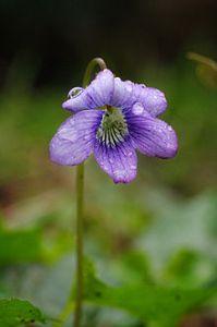 plant flower Dogviolet viola adunca