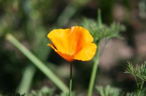 plant flower poppy Eschscholzia_californica_2004