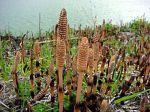 plant motif herb Equisetum_arvense_fr