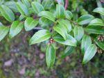 plant motif huckleberry Vaccinium_ovatum_3