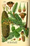 Silver Fir Celtic Tree Month Ailim