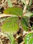 strawberry frangaria vesca