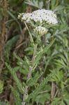220px-Achillea_millefolium_vallee-de-grace-amiens_80_22062007_1