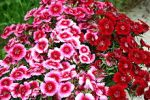 Sweet_William dianthus barbatus