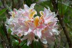 plant motif Rhododendron_occidentale_Strybing