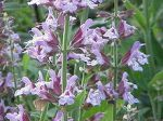 220px-Salvia_officinalis0