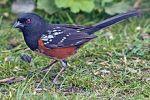 motif bird Spotted_Towhee