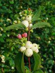 plant snowberry Symphoricarpos_albus