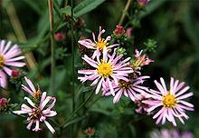 plant pacific aster Symphyotrichumchilense