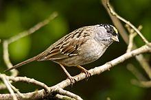 motif bird goldencrowned sparrowZonotrichia_atricapilla_-British_Columbia,_Canada-8