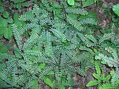 plant pic fern Adiantum_pedatum