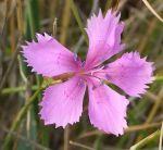 650px-Dianthus_caryophyllus_L_(Clove_pink)