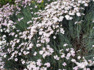 800px-Dianthus_caryophyllus_001