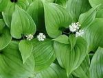 plant pic flower false lily of the valley