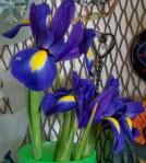 iris 043013