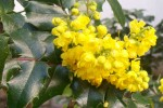 oregon grape 1
