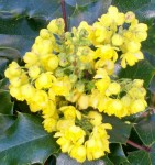 oregon grape 6