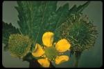 plant pic geum