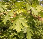 plant tree maple Acer_macrophyllum_1199