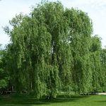 plant tree willow Celtic Tree Month Saille Salix_alba_Morton
