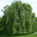 plant tree willow Celtic Tree Month Saille Salix_alba_Morton