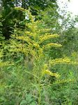 plant herb flower Solidago_canadensis_20050815_248