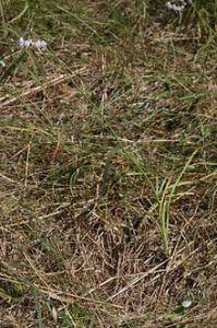 220px-Allium_cernuum_2853