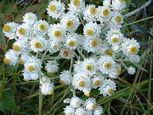 Plant photo pearly everlasting Anapahlis_margaritacea