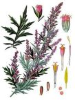 mugwort Artemisia_vulgaris_-_Köhler–s_Medizinal-Pflanzen-016