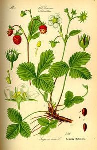 220px-Illustration_Fragaria_vesca0