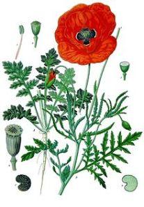 220px-Papaver_rhoeas_-_Köhler–s_Medizinal-Pflanzen-101