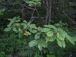 220px-Rhamnus_purshiana,_Cascara_--_branch_with_leaves,_flowers_and_buds