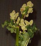 220px-Rhubarb_flower