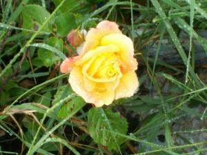 Amors Rose 052613