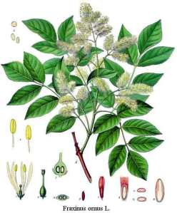 nuin celtic tree month plant tree Ash