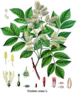 plant tree motif Ash