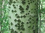 motif tree celtic month eadha white poplar Populus_alba_trunk