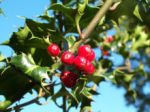 Holly Celtic Tree Month Tinne Ilex-aquifolium