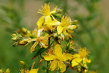 Saint_johns_wort_hypericum perforatum