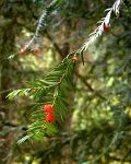 Yew Celtic Tree Month Ioho Taxus_brevifolia