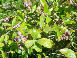 blueberries 062213