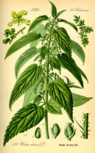 Nettle Urtica_dioica0