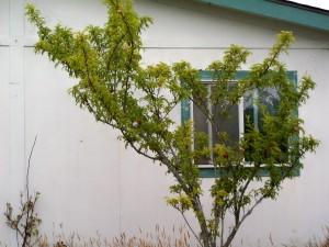 plums 022013