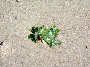 sea lettuce 071713