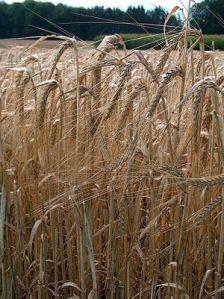 Barley plant grain
