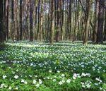 grove muin celtic tree month