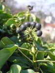 Ivy Gort Celtic tree month Hedera_helix