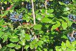 mahonia aquifolium oregon grape plant