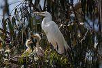 220px-Ardea_alba_-chicks_and_nest_-Morro_Bay_Heron_Rookery_-8
